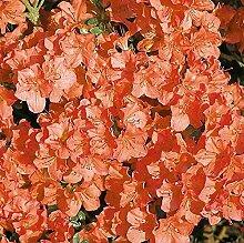 Japanische Azalee Satschiko 30-40cm - Rhododendron