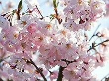 Japanische Blütenkirsche 'Kanzan' -