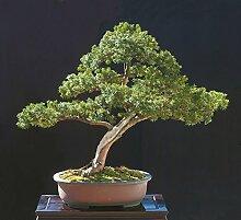 Japanische Eibe, Taxus cuspidata capitata, 30