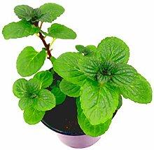 Japanische Heilminze Mentha arvensis x spicata