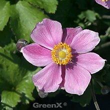 Japanische Herbstanemone Little Princess - großer