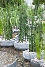 Japanische Hohlpfeife | Equisetum Japonicum -