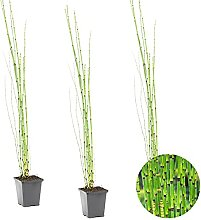 Japanische Holpipe   Equisetum Japonicum 3x -