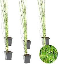 Japanische Holpipe   Equisetum Japonicum 6x -