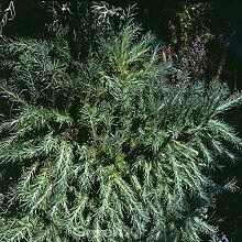 Larix kaempferi Japanische Korkenzieher Lärche Diana 30-40cm