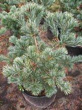 japanische Mädchenkiefer Negishi Pinus parviflora