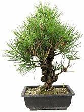 Japanische Schwarz - Kiefer, Pinus thunbergii