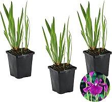 Japanische Sumpf-Schwertlilie   Iris