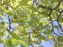 Japanische Zelkove Zelkova serrata Pflanze 25-30cm