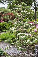 Japanischer Blumen Hartriegel Cornus kousa