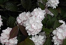 Japanischer Schneeball Pink Sensation - Viburnum