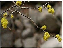 Japanischer Spicebush, Lindera obtusiloba,