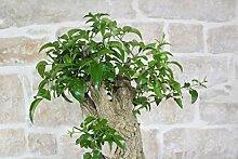 Jasmine bonsai tree (2)