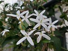 Jasminum officinale (Sommer, Dichter, Weißer,