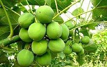 Jatropha curcas, Treibstoff und Dünger aus eigenen Garten, schöne Kübelpflanze!!