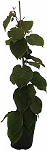 Jenny, Kiwi Pflanze im 3 Liter Topf,