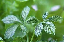 Jiaogulan - Kraut der Unsterblichkeit (50 Samen ) *Geheimtipp Gesundheit*