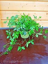 Jiaogulan Pflanze, Gynostemma pentaphyllum, Kraut der Unsterblichkeit, kultiviert aus Stecklingen 3stk. Pflanzen