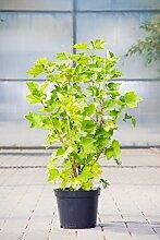 Johannisbeere Rovada, 30-40 cm, Beerenobst Pflanze, Strauch für Sonne-Halbschatten, Obststrauch winterhart & mehrjährig, Ribes rubrum, im Kübel