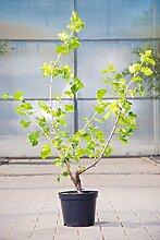 Jostabeere, 30-40 cm, Beerenobst Pflanze, Strauch