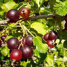 Jostabeere Strauch Jostabeere sauer-aromatisch 3+ Triebe 30-40 cm rotes Beerenobst Gartenpflanze 1 Pflanze