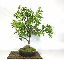 Jujube bonsai tree (1)