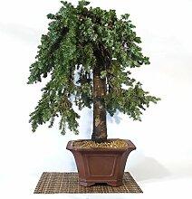 Juniper bonsai tree (2)