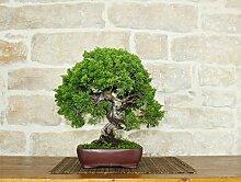 Juniper Itoigawa bonsai tree (26)