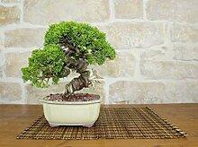 Juniper Itoigawa bonsai tree (42)