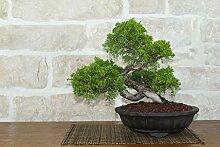 Juniper Itoigawa bonsai tree (43)