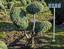 Juniperus chinensis 'Blue Alps' - NR. 5622