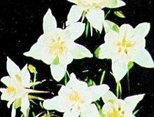Just Seed???Blume???Akelei???White Star???60?Samen