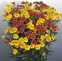 Just seed- Blume Gew hnliche Sonnenbraut