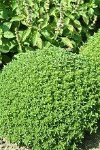 Just Seed Kraut Basilikum Feine Minette 200 Samen