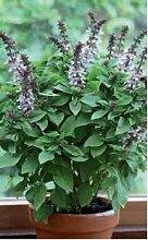 Just Seed Kraut Basilikum Floral T rme Lavendel 500 Samen Bulk