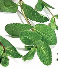 Just Seed Kraut Gr ne Minze Mentha viridis 5 g Samen Bulk Pack