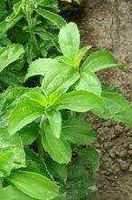 Just Seed Süßkraut / Stevia, Zuckerpflanze, Kraut, 40Samen