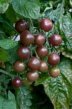 Just Seed Tomaten, dark Opal 250 Samen Gro packung