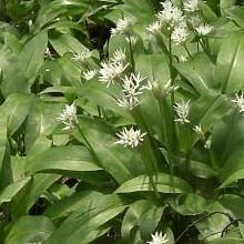 Just Seed Wilder Knoblauch / Bärlauch / Allium ursinum, Britische Wildblume, zum Verzehr geeignet, 100Samen