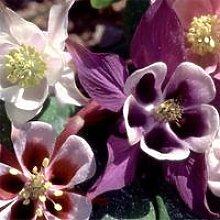 JustSeed Blume Akelei Cottage Garden Mix 100 Samen