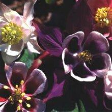 JustSeed Blume Akelei Cottage Garden Mix 500