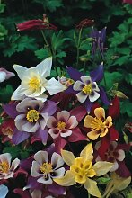 JustSeed Blume Akelei, McKanas Giant-Mischung, 400