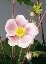 JustSeed Flower Herbst-Anemone Untertasse Pink 500