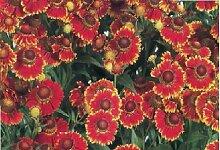JustSeed Flower Sonnenbraut Helena Rot 20 Samen