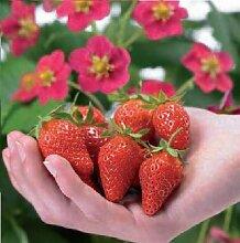 JustSeed Fruit Erdbeere Toscana 100 Samen Groß packung