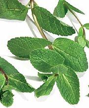 JustSeed Grüne Minze/Mentha viridis, Kraut,