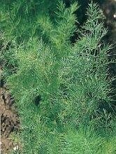JustSeed - Kraut - Dill - Anethum graveolens -