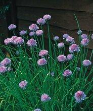 JustSeed - Kraut - Schnittlauch (Allium
