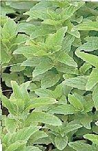 JustSeed Kraut Spearmint Mentha spicata 5 g Samen Groß packung