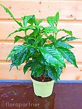 Kaffee Pflanze Coffea arabica 1stk./ Pflanze